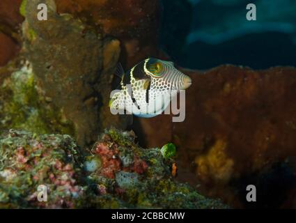 Black-saddled toby, Canthigaster amboinensis, on a Coral Reef, Tulamben, Bali, Indonesia