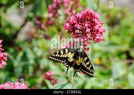 Swallowtail butterfly (Papilio machaon britannicus) feeding on garden flowers in the Norfolk Broads