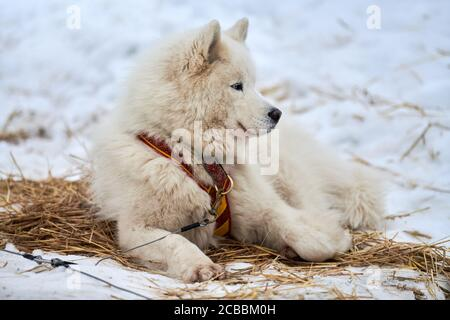 Husky sled dog lies on straw, stake out line. Siberian husky dog breed resting after sled race competition. Beautiful funny pet outdoor