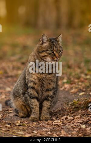 Cat playing in autumn with foliage. Fluffy tabby cat in colored leaves on nature. Striped tabby cat lying on the leaves in autumn.