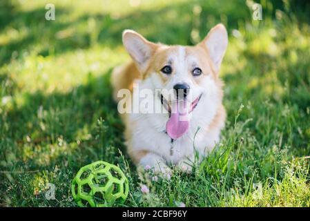 Corgi dog lying on the lawn with a ball - Stock Photo
