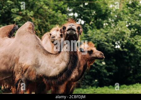 Heads of two camels in the Gobi desert in Mongolia. Close up nose, mouth and eyes of big brown camel heads. - Stock Photo