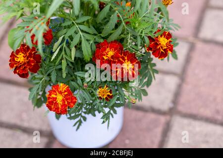 Pot of blossoming orange and red garden marigold flowers in garden, patio. A hedge of bright, orange marigolds. Genus - Tagetes.