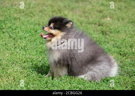 Cute pomeranian spitz puppy is sitting on a green grass in the summer park. Pet animals. Purebred dog. - Stock Photo
