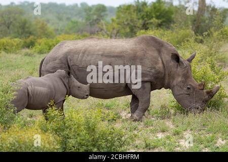Mother and tiny white rhino baby standing alert in Kruger Park South Africa