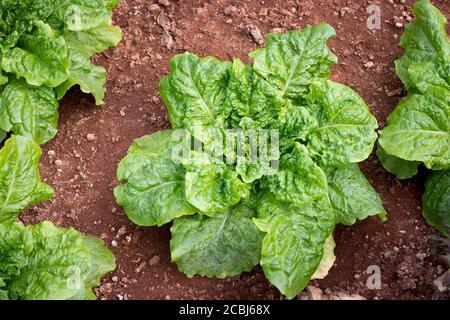 Fresh green oak butterhead lettuce salad plant,  vegetable leaves (salad leave) in the organic farm - Stock Photo