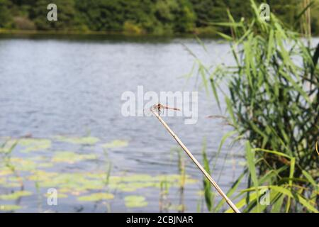 Red-veined darter dragonfly (Sympetrum fonscolombii) perching on the end of a stick on the margins of Pickmere lake in Cheshire, England