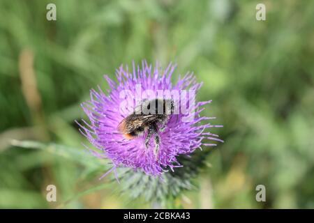 bumblebee on purple thistle - Stock Photo