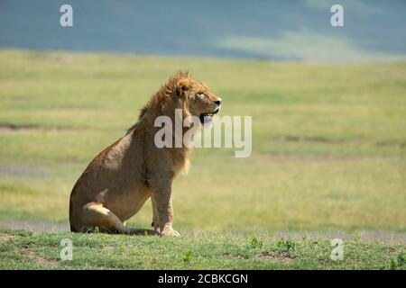 Male lion sitting and watching the open green plains of Ngorongoro Crater on a sunny day in Tanzania