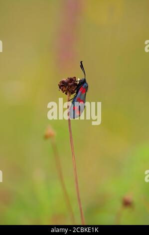 Close up image of a Six Spotted Burnet Moth resting on a plant with a Blurred background in Bishop Middleham Nature Reserve, County Durham, England,UK