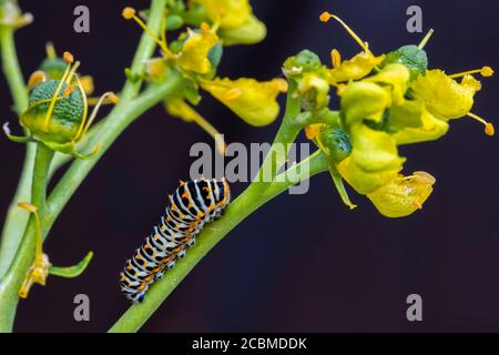 Old World swallowtail caterpillar (Papilio machaon).