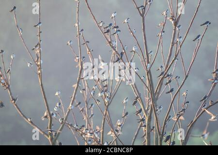 Large flock of Tree Swallows, Tachycineta bicolor, perched and flying on branches in soft morning light and fog - Stock Photo