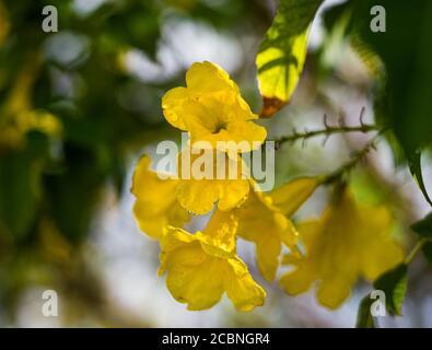 Yellow Trumpetbush flower, Yellow elder, Tecoma stans,