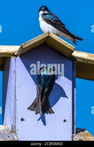 Tree Swallow (Tachycineta bicolor) in Early Spring - Stock Photo