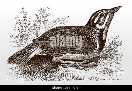 Western meadowlark, sturnella neglecta sitting on the ground, after an antique illustration from the 19th century - Stock Photo