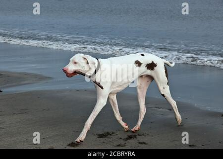 Great Dane 'White Harlequin' male, two years old, fetching a stick,  playing at the beach, California,