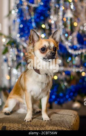 Cute Chihuahua doggie sitting on sofa in front of ornate Christmas tree. One little light brown and white dog. Purebred breed of longhaired pet. Bokeh.
