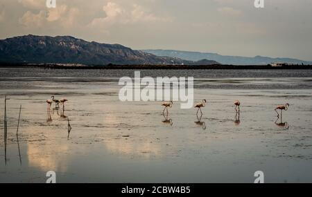 Flamingos at Delta de l'Ebre Natural Park in Tarragona, Catalonia, Spain - Stock Photo
