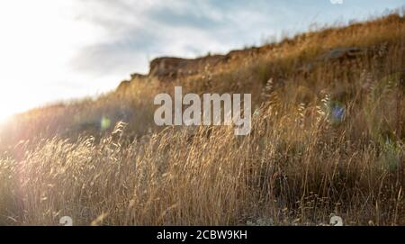 Golden dry plant of poaceae family under the soft sunbeams of a summer sunset, Greek nature background. The common wild oat, the avena fatua at Kea, T - Stock Photo