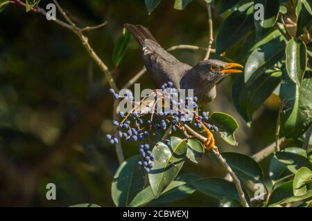 Olive Thrush bird perched on an elderberry tree known as Turdus olivaceus in garden - Stock Photo