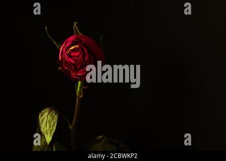 Withered red rose. Gothic background with copy space. - Stock Photo