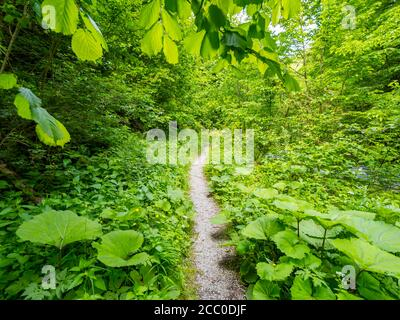 Green forest trail narrow foottrail pathway through dense Green vegetation trees woodland in country-side countryside without people wop nobody - Stock Photo