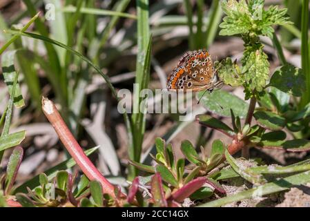 Aricia Cramera, Southern Brown Argus Butterfly