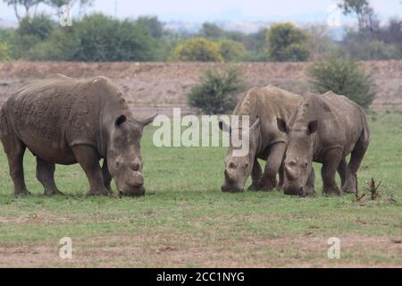 South Africa. 08th Feb, 2019. White rhinos go to the private rhino rearing facility of J. Hume in South Africa's North West Province. There are currently more than 1700 white rhinos on the farm. Credit: Jürgen Bätz/dpa/Alamy Live News - Stock Photo