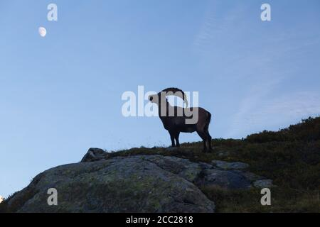 Capricorn Alpine Ibex Capra ibex Mountain Swiss Alps Mountain alps goats on rock on top of the hill silhouette isolated on white mountain and blue sky - Stock Photo