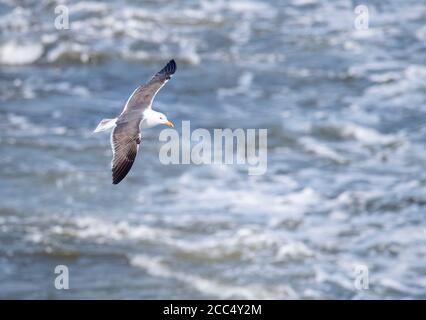 lesser black-backed gull (Larus fuscus), Subadult flying, Netherlands, Texel - Stock Photo