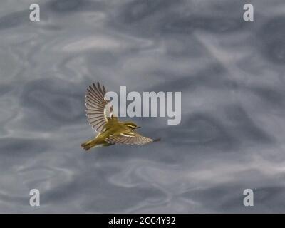 yellow-browed warbler (Phylloscopus inornatus), flying over the North Sea, United Kingdom, Scotland - Stock Photo