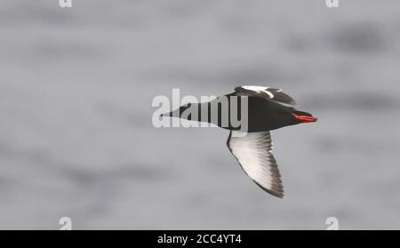 Arctic Black Guillemot (Cepphus grylle mandtii, Cepphus mandtii), summer plumaged adult in flight, Norway, Svalbard - Stock Photo