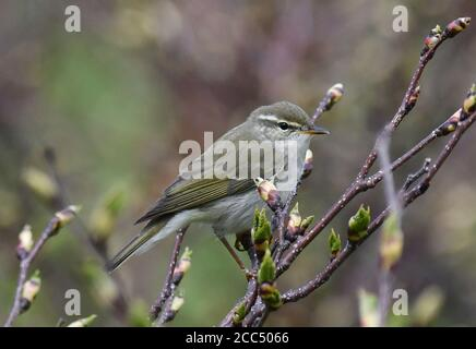 Kamchatka Leaf Warbler (Phylloscopus examinandus, Seicercus examinandus), perched in a low bush, Russia, Kurile Islands, Simushi - Stock Photo