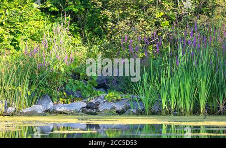 Young river otter standing on the rocks in a local pond near Ottawa, Canada - Stock Photo