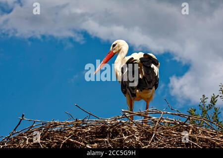 White Stork; standing in large nest, rear and side view, Ciconia ciconia; white; black; red beak; wildlife; bird, animal; Storks and Otters Reintroduc - Stock Photo