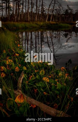 Dried tree branch laying in colorful water-arum leaves with bog lake and dry trees on bokeh background. - Stock Photo