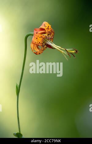 Turk's Cap Lily (Lilium superbum) - DuPont State Recreational Forest, near Hendersonville, North Carolina, USA - Stock Photo