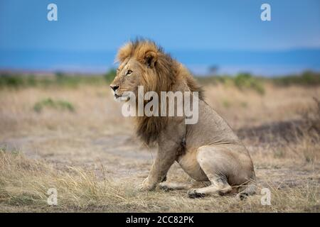 Landscape portrait of lion king looking to the side sitting on dry grass in the vast plains of Masai Mara Kenya