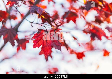 Beautiful branches with red leaves of a Norway maple (Crimson King, Goldsworth Purple)  in sunlight.   Selective focus. - Stock Photo