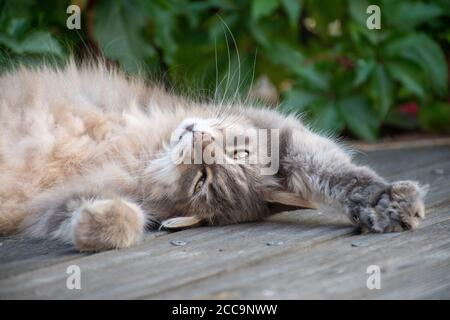 Cat lying on the ground , the head upside down, so cute, so beautiful and ful of love