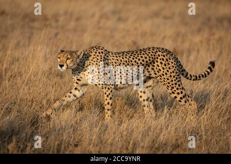 Adult female cheetah with beautiful eyes walking amongst tall grass during sunset in Serengeti National Park in Tanzania - Stock Photo