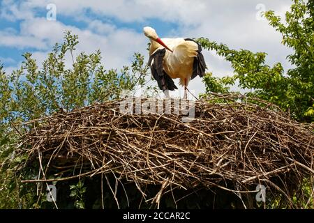 White Stork preening; large nest, Ciconia ciconia; white; black; red beak; wildlife; bird; animal, Storks and Otters Reintroduction Center; Alsace; Eu - Stock Photo