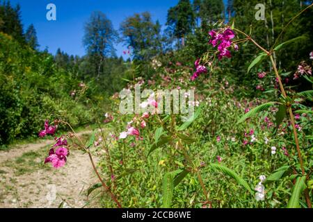 Impatiens glandulifera, a invasive plant growing next to the Kamptal-Seenweg 620, hiking near Dobra reservoir, Waldviertel, Austria