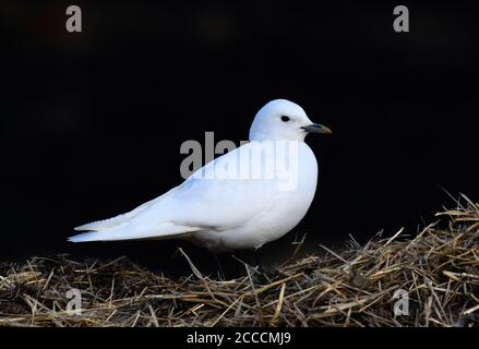 Ivory Gull (Pagophila eburnea ) on Spitsbergen. Adult perched on a stack of hay near the capital of Svalbard. - Stock Photo