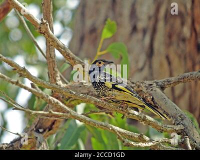Regent Honeyeater (Anthochaera phrygia), a critically endangered bird endemic to South Eastern Australia. Considered a flagship species within its ran - Stock Photo