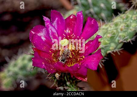 Flower of the Buckhorn Cholla Cactus, Cylindropuntia Acanthocarpa. Native to Arizona, it grows at various elevations. In the lower desert the flowers - Stock Photo