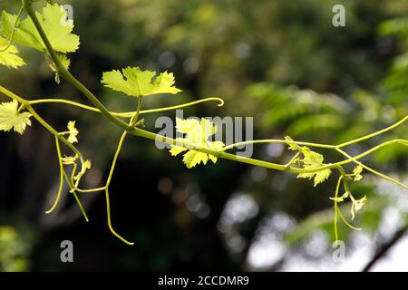 A small grape leaf captured in bright sunlight environment inside a lawn. Elegant grapevine photography with a blurred background, for wallpapers. - Stock Photo