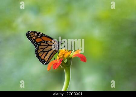 Monarch Butterfly, Danaus plexippuson, on orange Mexican Sunflower, Tithonia, green background