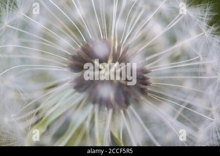 Macro shot of the seeds of a dandelion - Stock Photo