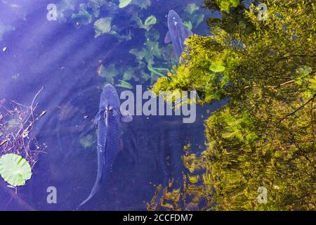 Vienna, common carp or European carp (Cyprinus carpio) in oxbow lake in 22. Donaustadt, Wien, Austria Stock Photo